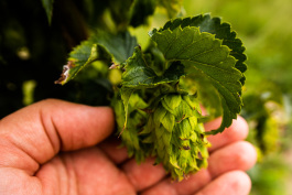 Hoppily Ever After Farms in Marine City is eager to see its anticipated first full crop late this summer