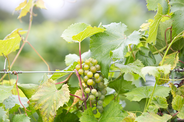 la crescent grapes at Northern Sun Winery