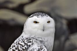 Snowy owls are subject to changing habitats.