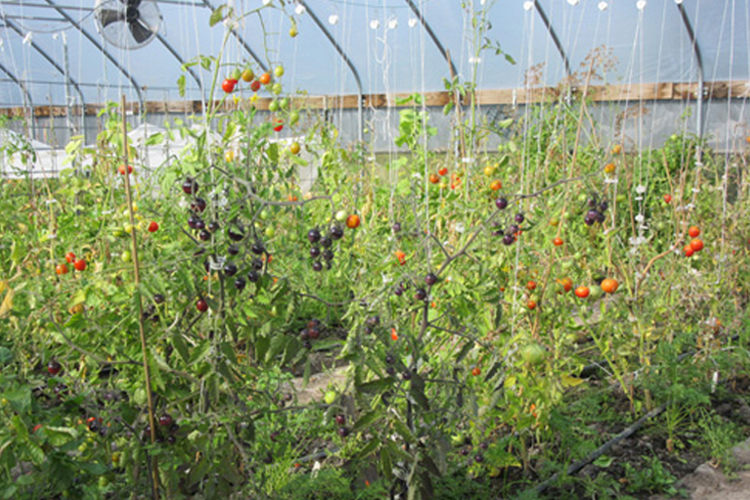 Tomato plants in Sky Country's hoop house.